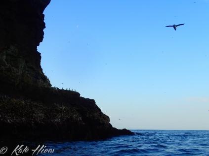 Razor Bills in flight off Barra Head